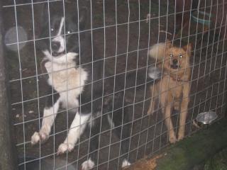 raika犬とPistikoira
