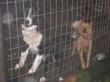 raika犬 と Pistikoira